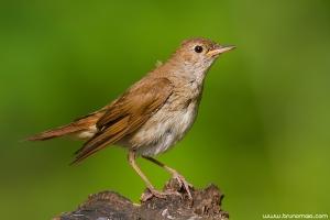 Rouxinol | Rufous Nightingale (Luscinia megarhynchos)