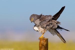 Águia-caçadeira | Montagu's Harrier (Circus pygargus)