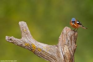 Tentilhão | Chaffinch (Fringilla coelebs)