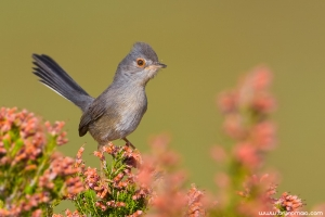 Toutinegra-do-mato | Dartford warbler (Sylvia undata)