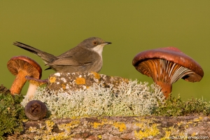 Toutinegra-dos-valados | Sardinian Warbler (Sylvia melanocephala)