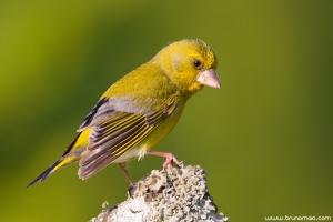 Verdilhão | Greenfinch (Carduelis chloris)